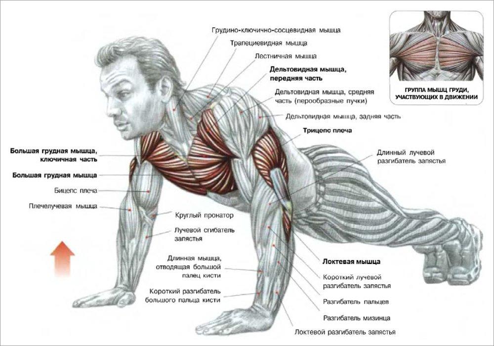Мышцы, участвующие при отжиманиях