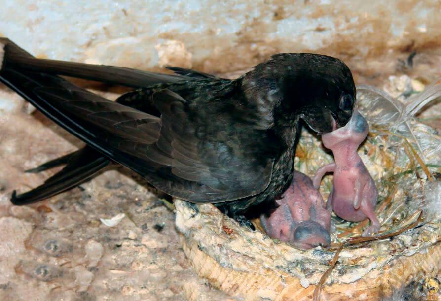 Черный стриж кормит птенцов