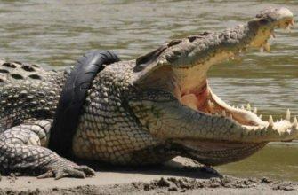 Крокодил в Индонезии