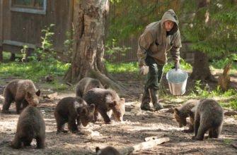 Лесник с медвежатами