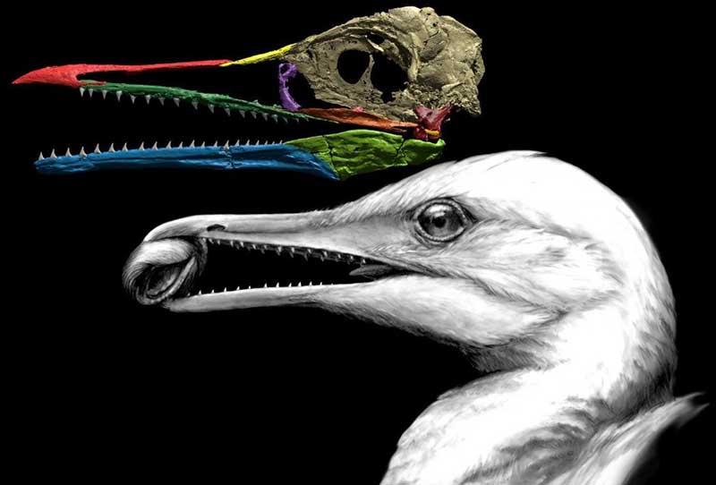 Зубастые птицы мелового периода