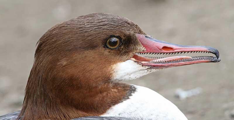 У каких птиц можно увидеть зубы?