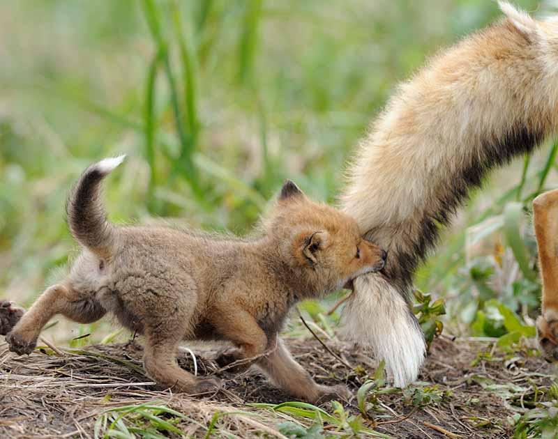 Фотограф дикой природы Игорь Шпиленок - лисы
