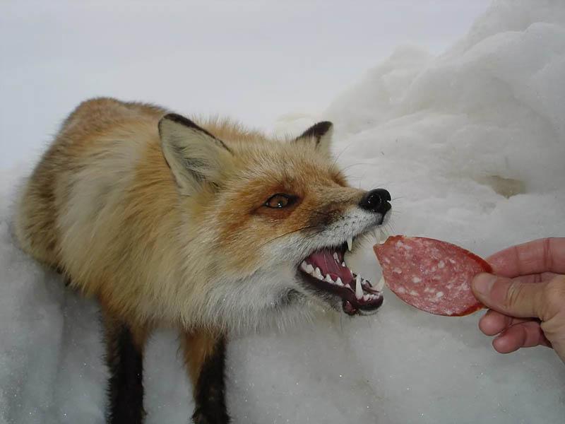 Почему нельзя кормить диких лис