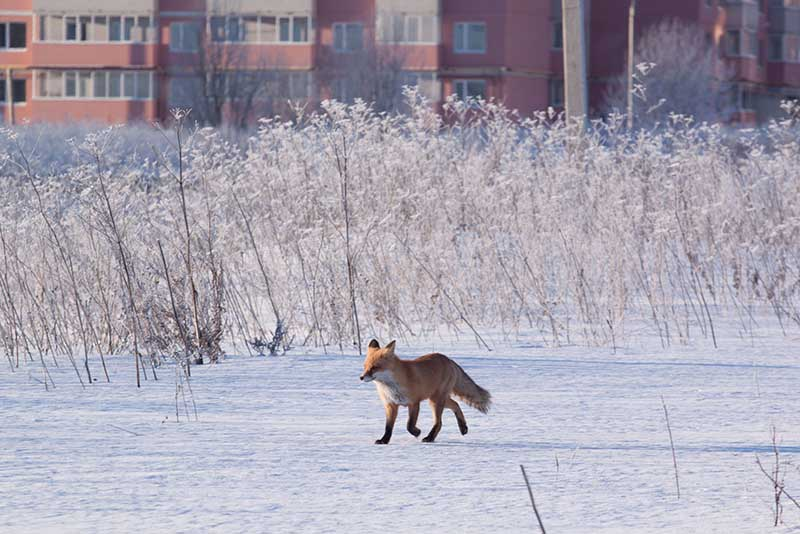 Жители спальных районов Москвы периодически замечают лис в зонах лесопарков