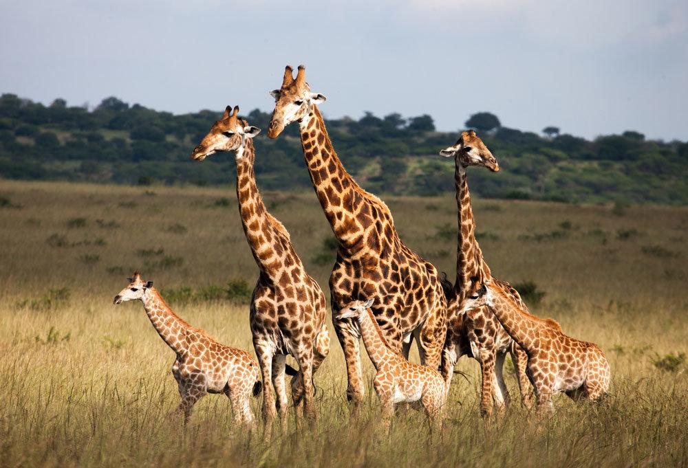 Образ жизни жирафа