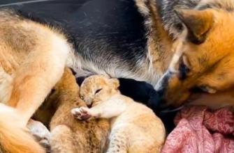 Собака начала выкармливать двух львят